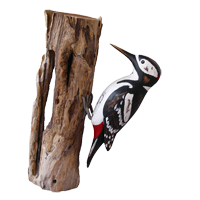 Archipelago Great Spotted Woodpecker