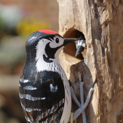 Archipelago Lesser Spotted Woodpecker